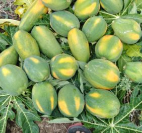 Papaya Wholesalers
