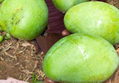 Green Farm Mangoes